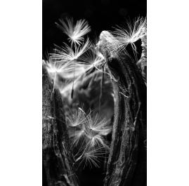 Dandelion Zoom III
