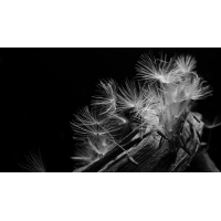 Dandelion Zoom IV