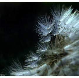 Dandelion Zoom